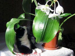 помощь при отравлении ядом амазонской лилии
