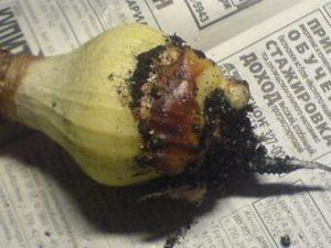 гнилые луковицы эухариса