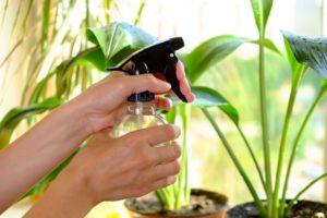 Опрыскивать амазонскую лилию из пульверизатора