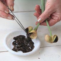 разведение амазонской лилии с помощью семян