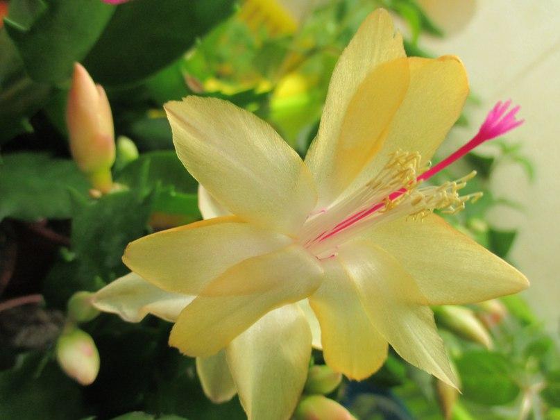 Цветок декабрист: фото, разновидности, названия сортов