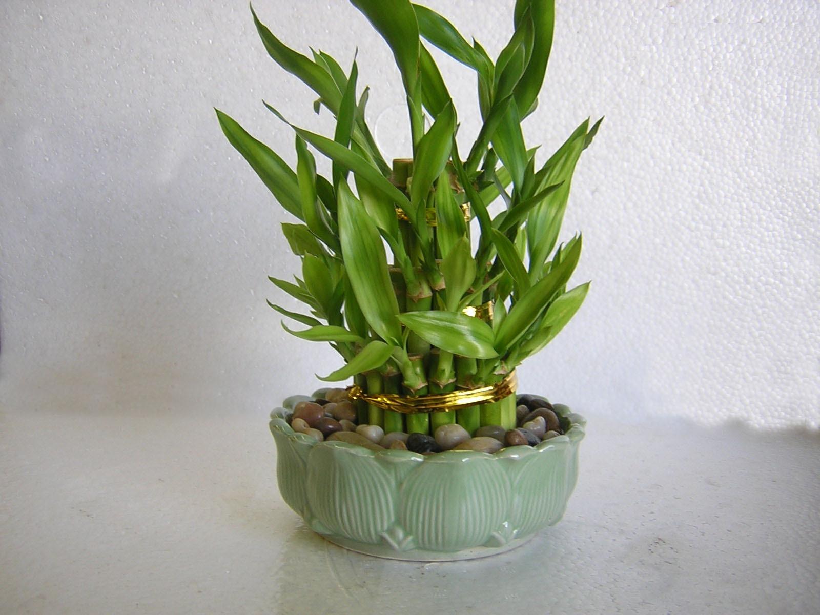 Бамбук счастья уход в домашних условиях