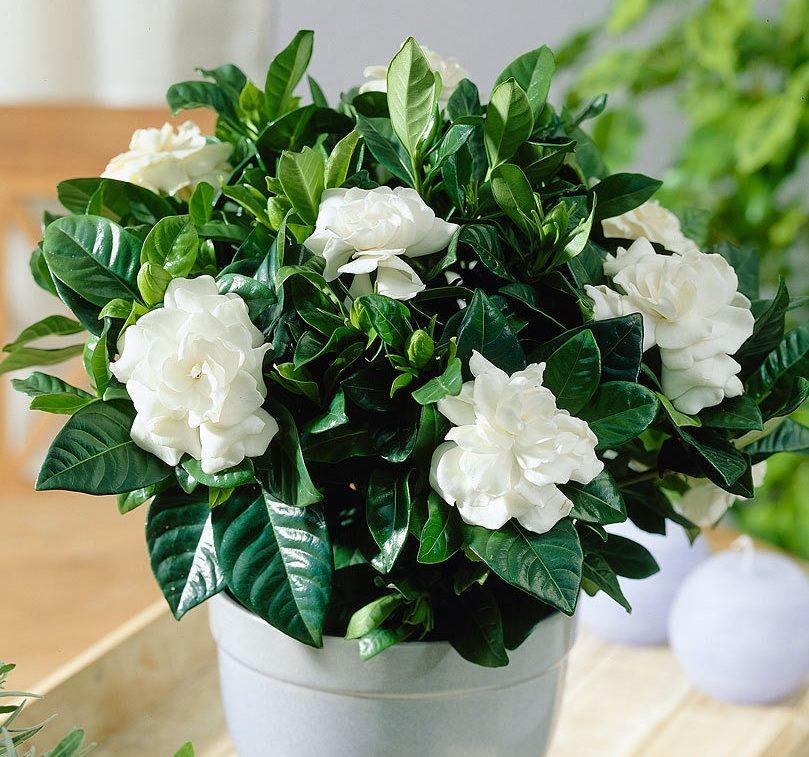 Гардения жасминовидная - приметы и суеверия для дома: можно ли держать в комнате это растение, к чему оно цветет, что принесет своим владельцам и куда его лучше поставить?