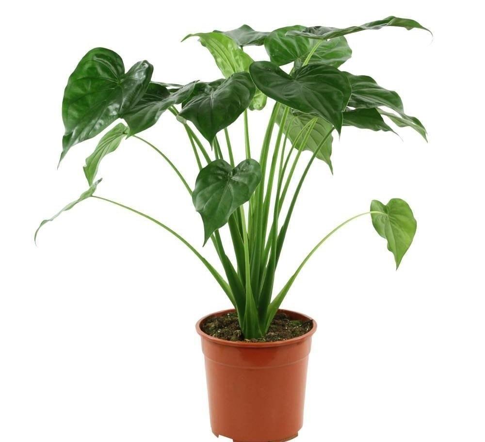 Как ухаживать за алоказией: уход и выращивание в домашних условиях