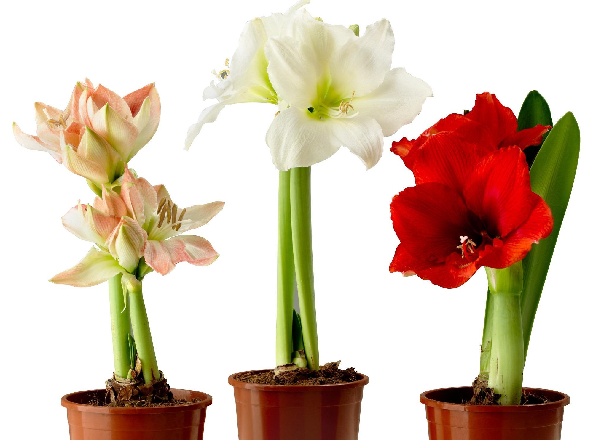 Цветок амариллис или гиппеаструм