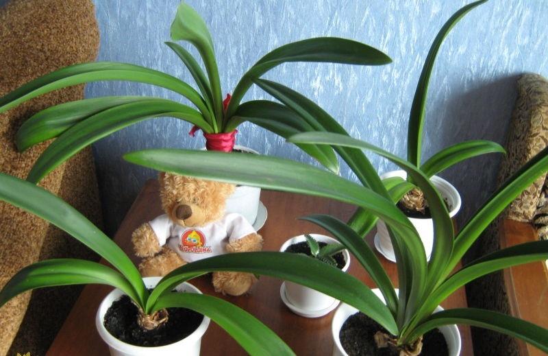 Почему гиппеаструм не цветет? Грамотный уход и советы, как заставить растение выпустить стрелку