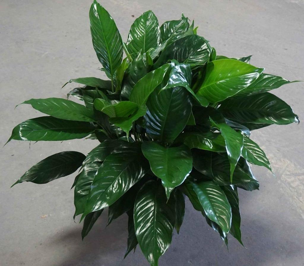 Почему у спатифиллума мелкие листья