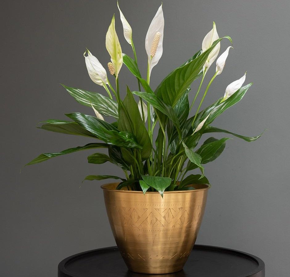 Спатифиллум радостно цветет