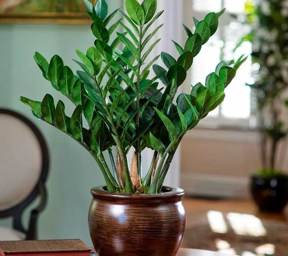 """Прирост """"капитала"""" на окне: как самостоятельно вырастить замиокулькас из листа или веточки?"""