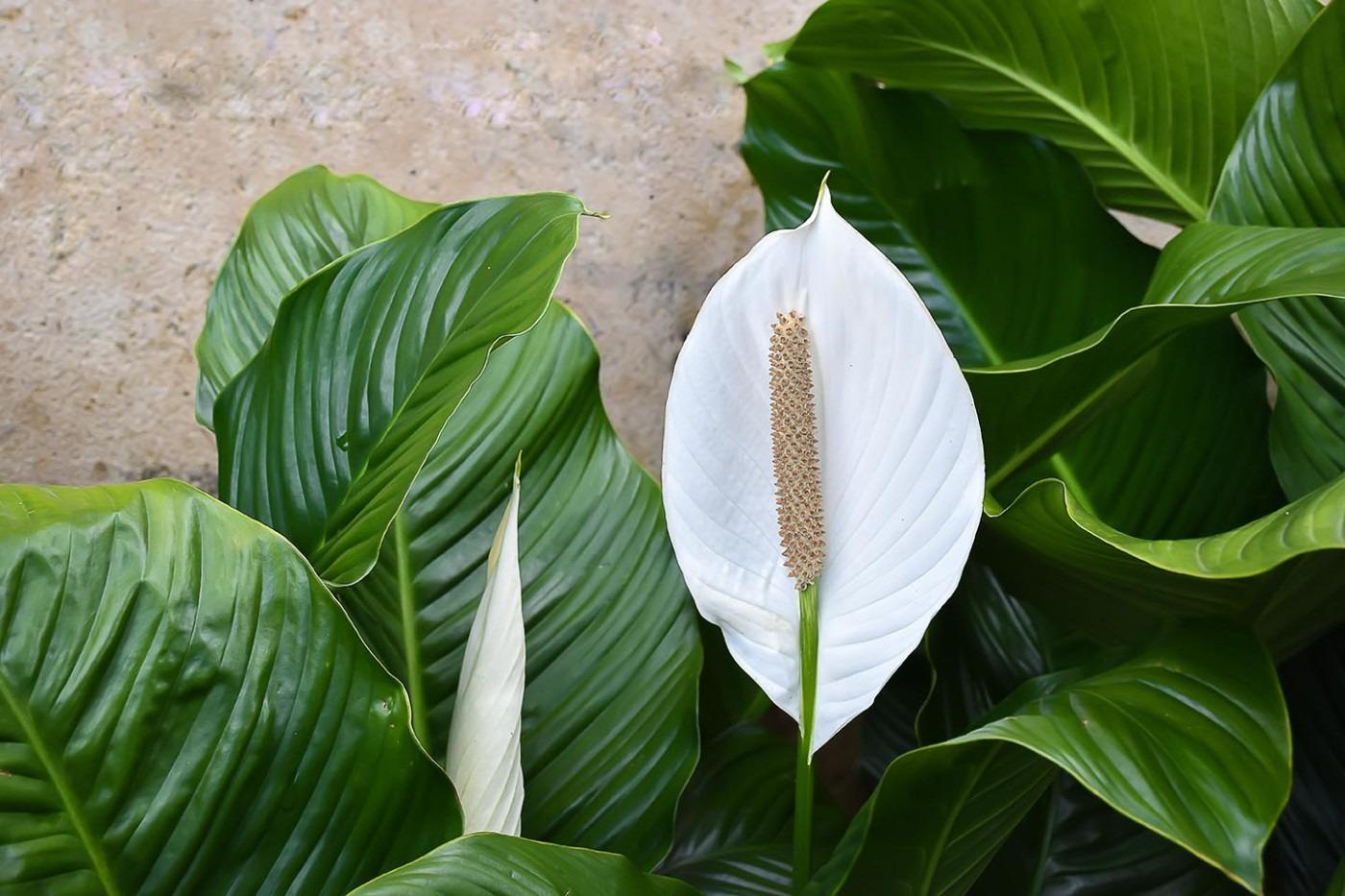 Спатифиллум польза и вред для дома