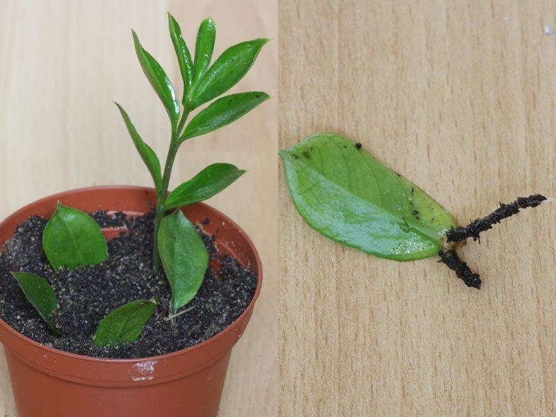 Как размножать суккуленты Как размножить растение черенками или листьями в домашних условиях Уход после разведения