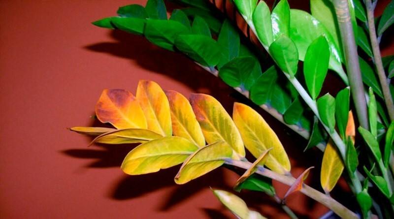 Замиокулькас желтеет лист