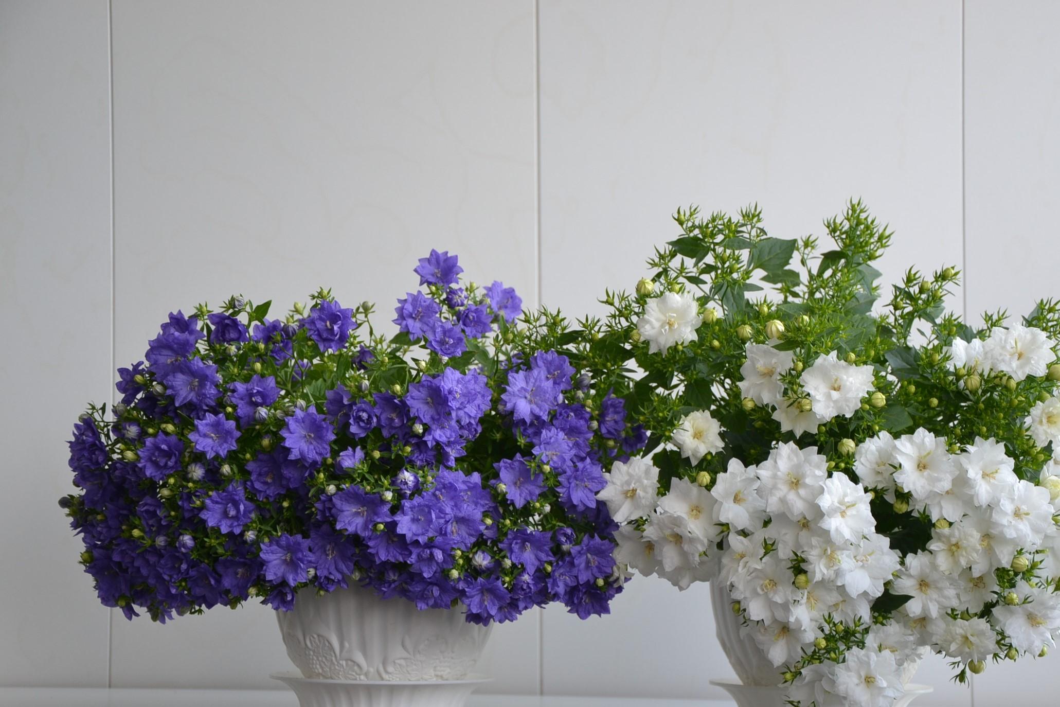 Картинка цветка жених и невеста