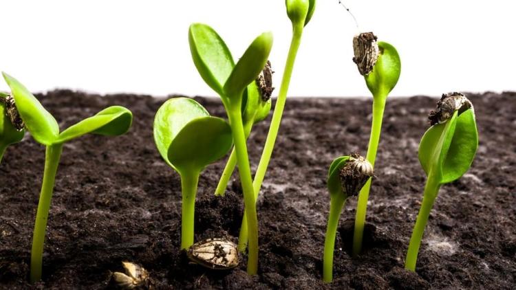 какие семена считаются двудольными